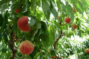 山梨の桃狩り