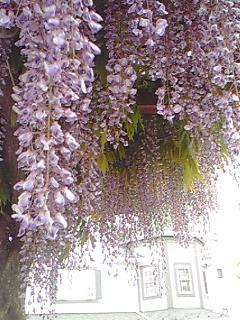 千葉市新宿公園の藤