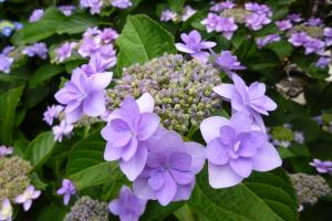 堀切の紫陽花