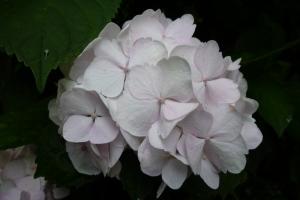 鎌倉御霊神社の紫陽花