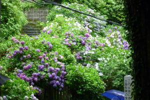 極楽寺駅の紫陽花